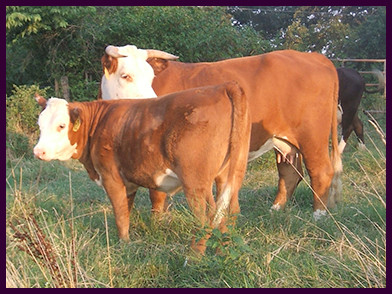 M Yampa Lady 1085X pictured with calf M Max's Topaz 452B